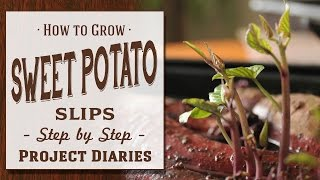 ★ How to: Grow Sweet Potato Slips (A Complete Step by Step Guide)