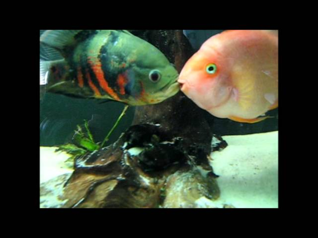 Oscar Vs. Blood Parrot - freshwater fish