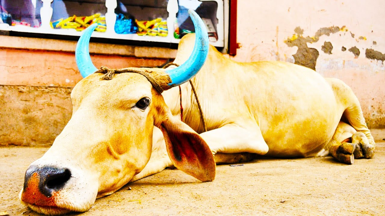 Hindu Fundamentalists Killing Muslims Over Cows thumbnail