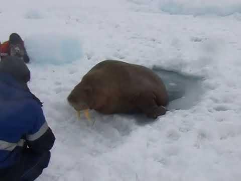 Общительный морж наведался к людям на Ямале