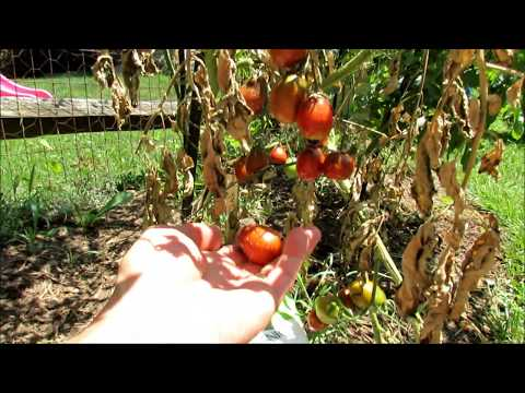 , title : 'Identifying and Treating Tomato Diseases: Blossom End Rot (BER), Early Blight, Leaf Spot'