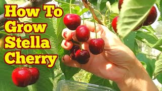 The Movie: How To Grow Stella Cherry Tree / Grow, Care & Eat/ Allotment Fruit Orchard