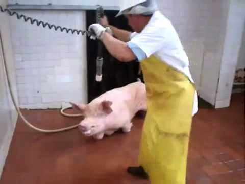 طريقه ذبح الخنزير,,, الحمد لله على نعمة الإسلام