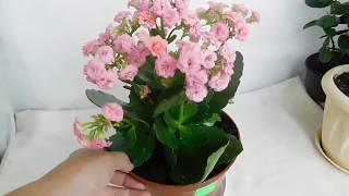 Каланхоэ поле цветения 🌱