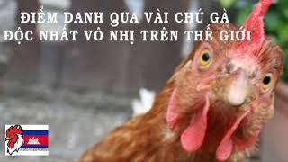 Những chú gà độc lạ nhất thế giới 🤣🤣🤣