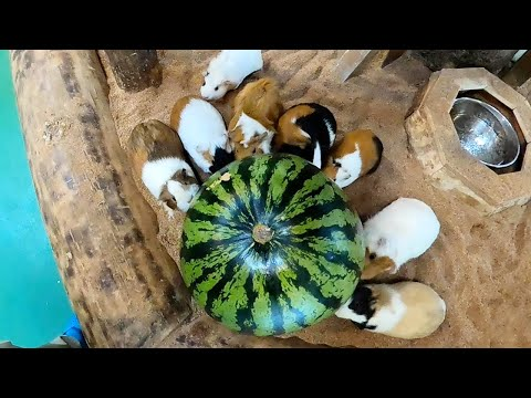 不器用なモルモット達の、スイカかじりが愛おしい。Guinea pig eat watermelon