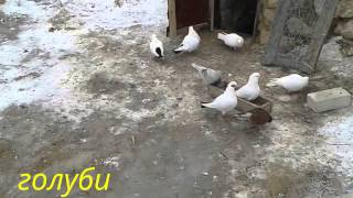 preview picture of video 'голуби когершин кульсары кулсары'