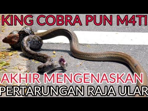 Download KING COBRA VS PYTHON BERAKHIR MENGEN4SKAN... HD Mp4 3GP Video and MP3