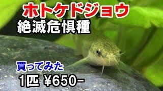 ドジョウ水槽絶滅危惧種日本淡水魚