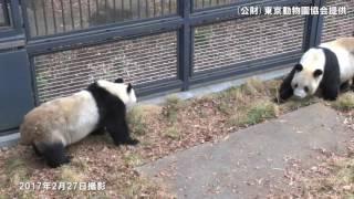 上野動物園で5年ぶり赤ちゃんパンダ誕生か?リーリーとシンシン交尾を確認