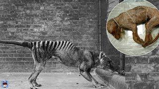 10個已滅絕動物的生前錄像,太珍貴了!