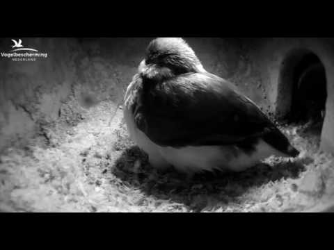 Kingfishers: Fourth Egg - longer version - 27.03.17