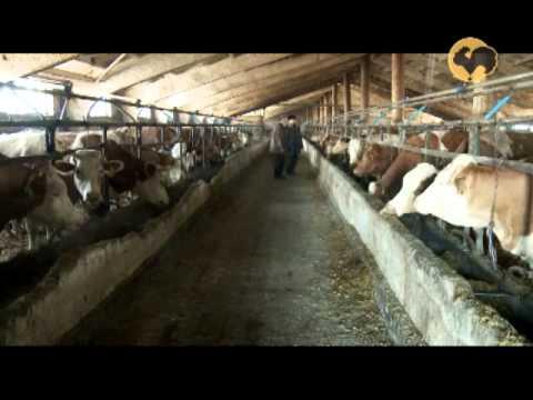 , title : 'Симментальская порода коров 143