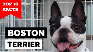 Boston Terrier - Top 10 Facts (The American Gentleman)