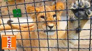 Парк львов Тайган ЗООПАРК День #2 Park of lions Taigan Zoo Day # 2