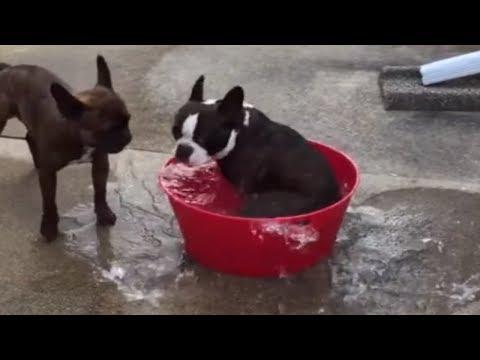 French Bulldog creates his own mini whirlpool