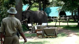 Elephants visiting Little Governors' Camp in the Masai Mara Kenya