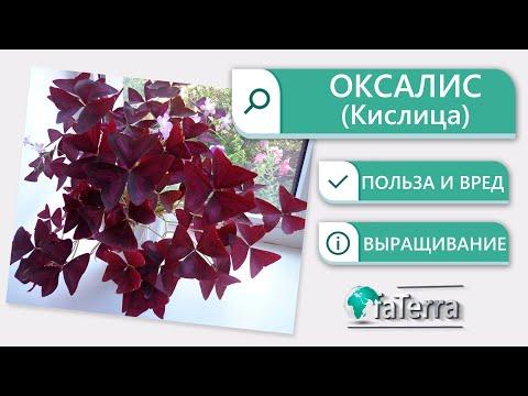 Оксалис (Oxalis) или Кислица польза и вред растения. Уход. Приметы.