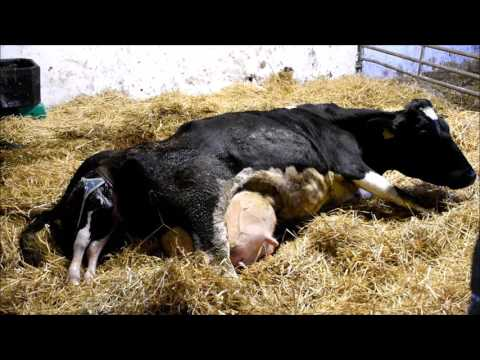 Mi befolyásolja a szarvasmarha galandférget
