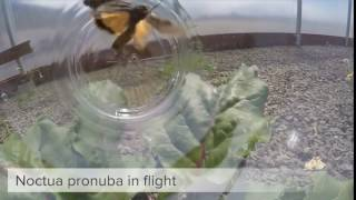 Noctua pronuba in flight HD