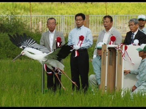 コウノトリ5年ぶり自然放鳥