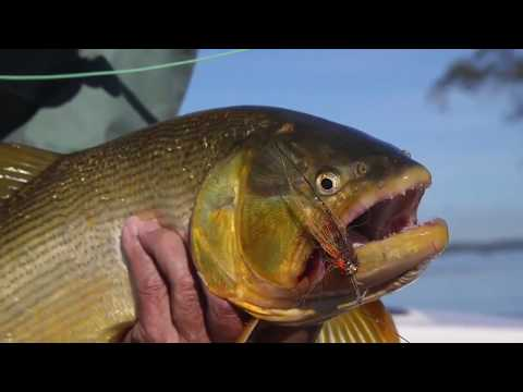Dorado Fishing in Los Laureles Lodge