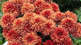 How To Make Your Chrysanthemums Bloom Throughout Winter | Pruning Chrysanthemum