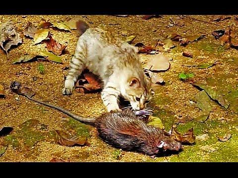 小貓竟捉了大老鼠!