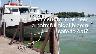HABs FAQs: Are Fish Caught in a Harmful Algal Bloom Safe to Eat?