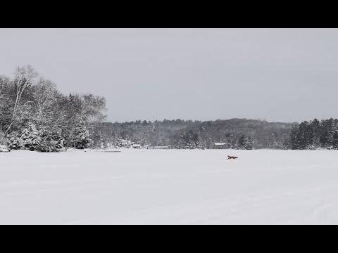 2021冰钓行之六 火狐现身,必上大鱼