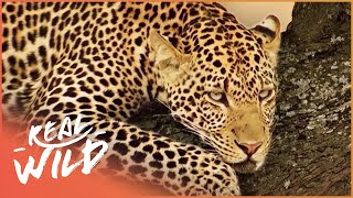 Baboons Have To Be Careful of Leopards In Trees | Elephants On The Run | Wild Things Shorts