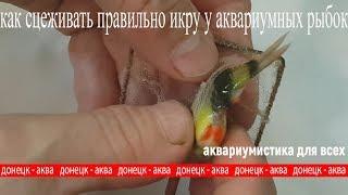 Как рыбы откладывают икру