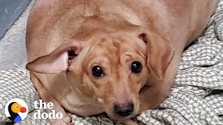 30-Pound Chiweenie Needed To Lose Half Her Body Weight | The Dodo by The Dodo