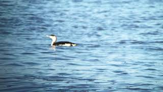 Red-throated Diver (Gavia stellata) winter plumage fishing at the shoreline @ Minsmere