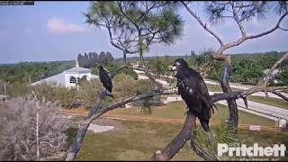 E12 Fledges-Southwest Florida Eagle Cam-March 12, 2019