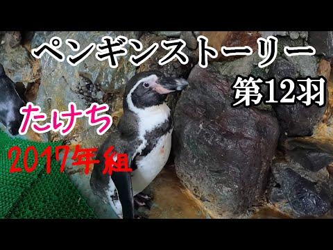 ペンギンストーリー ~第12羽「たけち」~【フンボルトペンギン】