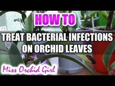 , title : 'How to treat a bacterial infection on an Orchid leaf