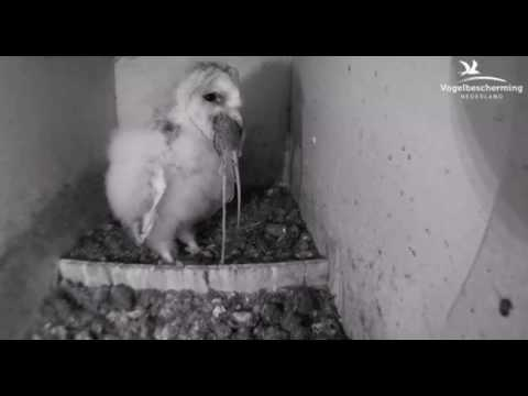 Barn Owl Chick Eats Mouse - 20.06.17