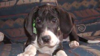 Great Dane Lovey 8 weeks - 10 months