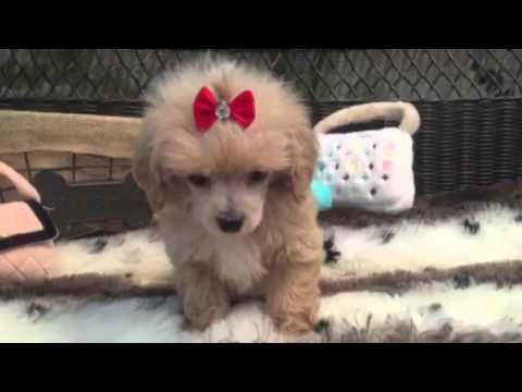 ADORABLE TOY POODLE THAT WILL MELT YOUR HEART!