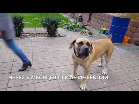 Артроз у собак. Пример лечения до и после препарата Нолтрекс