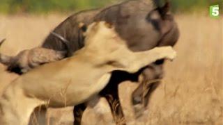 Prédateurs   Lions Vs Buffle : L'ultime Combat