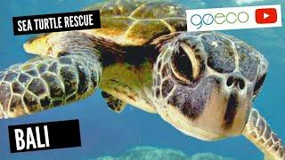 Volunteer with Sea Turtles in Bali, Indonesia | GoEco
