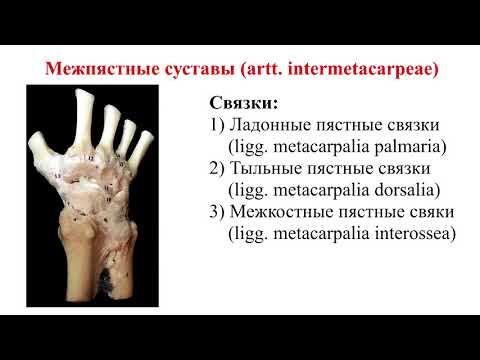 Суставы кисти: строение, биомеханика движений, кровоснабжение, иннервация