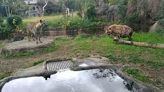Two hyenas at Japan Tennoji Zoo, Osaka 天王寺動物園の二匹のハイエナ