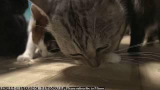 2018.9.23 猫日記   Cat's diary. September 23, 2018 【Miaou みゃう】   Kholo.pk