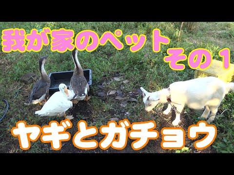 , title : '【ペット】Vol.1  我が家のペット紹介その1 ヤギとガチョウなんて田舎じゃなきゃ飼えません。 【ヤギ ガチョウ】
