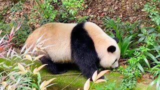 Cute Giant Panda FU LAI takes a walk in the yard (09/20)