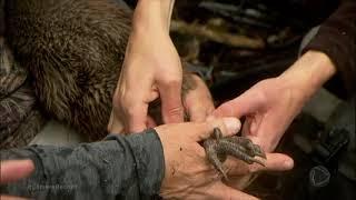 Conheça O Kiwi, O Pássaro Símbolo Da Nova Zelândia
