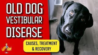 Old Dog Vestibular Disease: signs, treatment and recovery